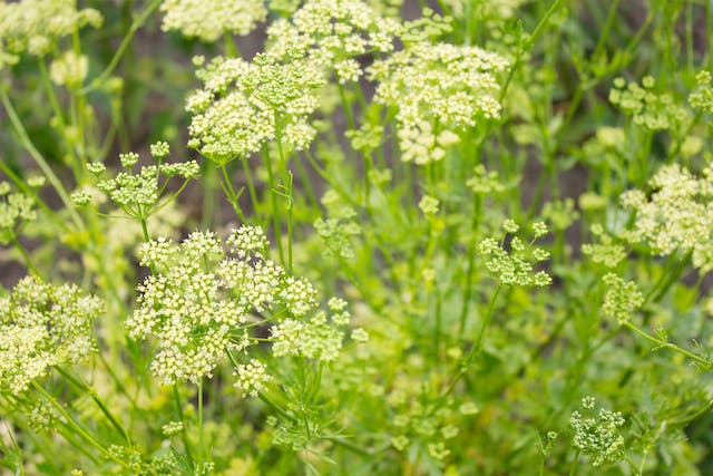 Spring Parsley Poisoning in Horses - Symptoms, Causes, Diagnosis, Treatment, Recovery, Management, Cost