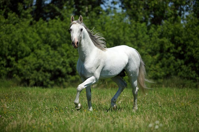 Stall Walking in Horses - Symptoms, Causes, Diagnosis, Treatment, Recovery, Management, Cost