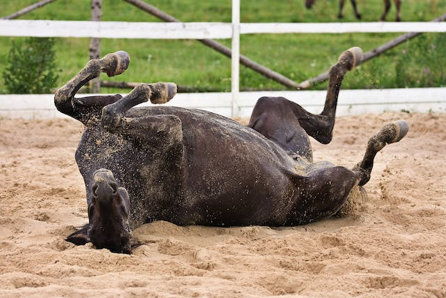 Stomach (Gastric) Ulcers in Horses - Symptoms, Causes, Diagnosis, Treatment, Recovery, Management, Cost