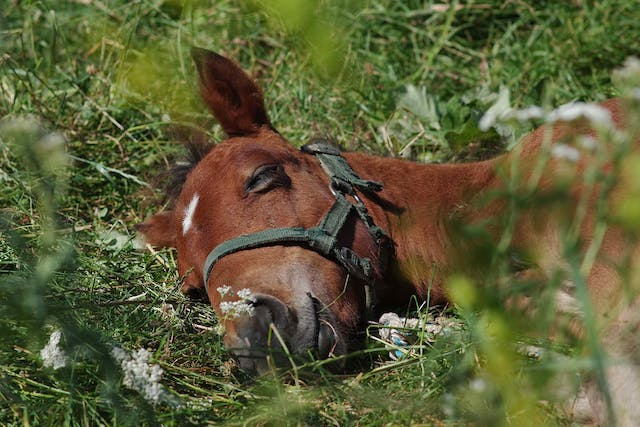 Straw Itch Mite in Horses - Symptoms, Causes, Diagnosis, Treatment, Recovery, Management, Cost
