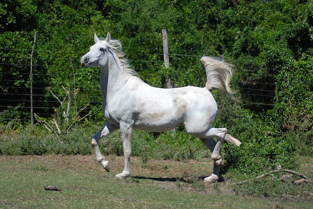 Stringhalt in Horses - Symptoms, Causes, Diagnosis, Treatment, Recovery, Management, Cost