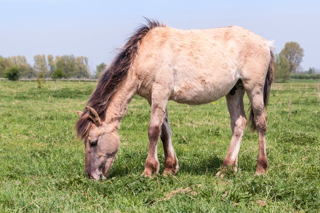 Sunburn in Horses - Symptoms, Causes, Diagnosis, Treatment, Recovery, Management, Cost