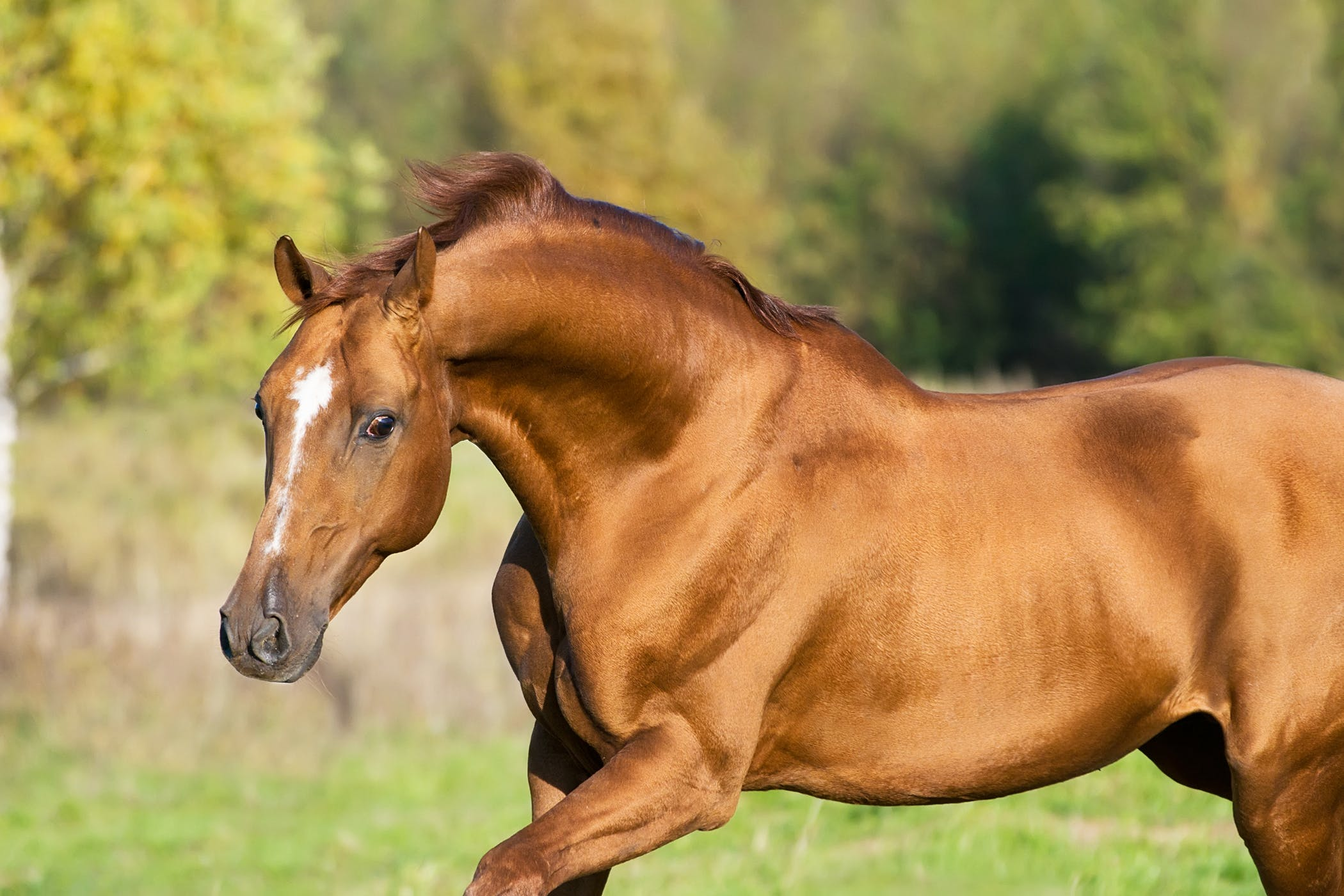 Suprascapular Neuropathy (Sweeney Shoulder) in Horses - Symptoms