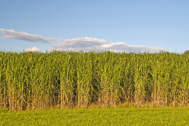 Switchgrass Poisoning in Horses - Symptoms, Causes, Diagnosis, Treatment, Recovery, Management, Cost