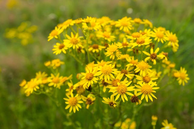 Tansy Ragwort Poisoning in Horses - Symptoms, Causes, Diagnosis, Treatment, Recovery, Management, Cost