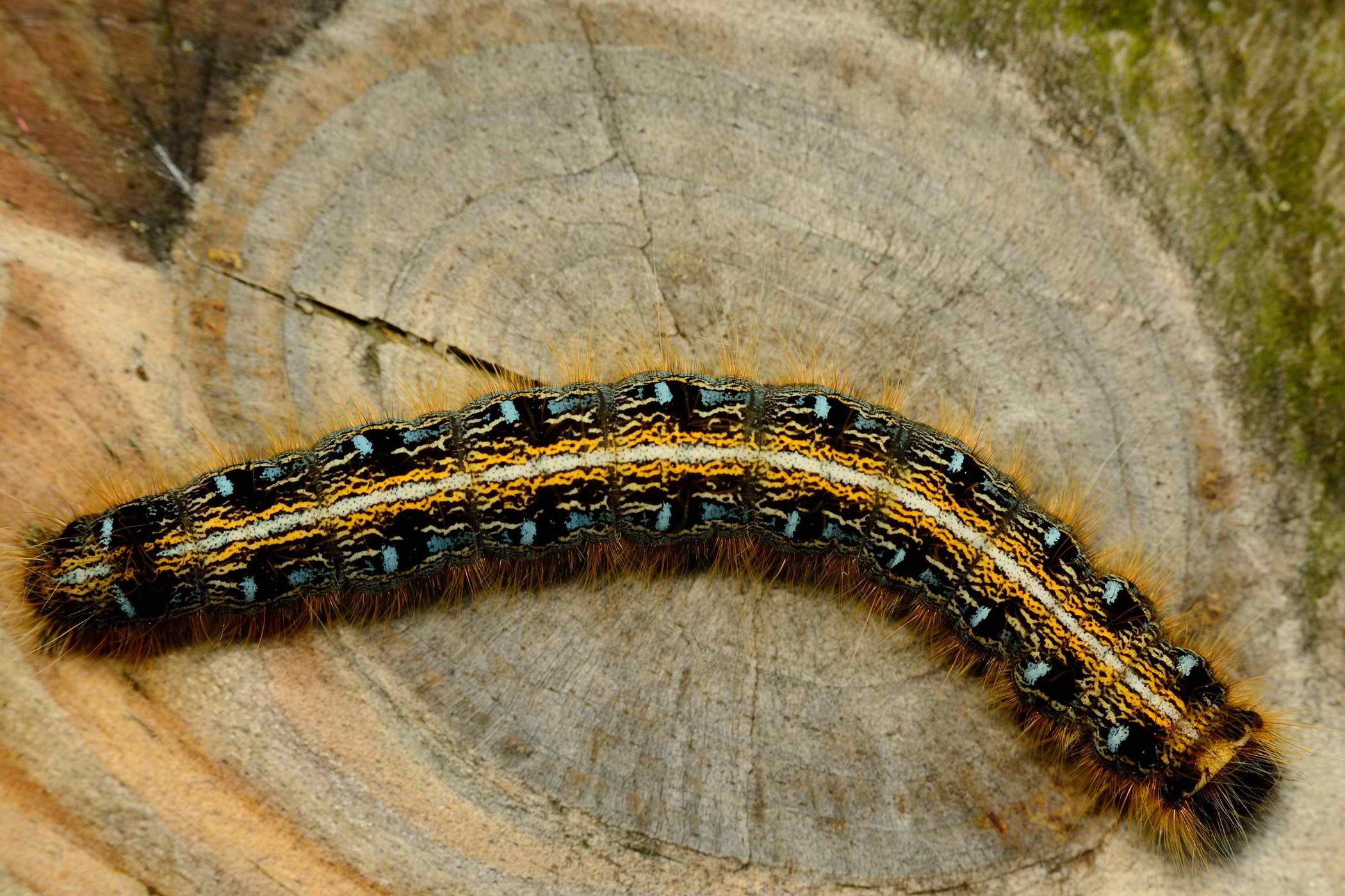 Tent Caterpillar Toxicity (Pregnant Mares) in Horses & Caterpillar Toxicity (Pregnant Mares) in Horses - Symptoms Causes ...