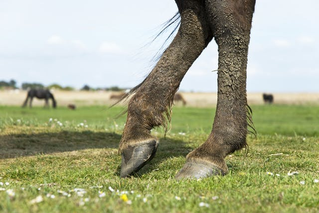 Thoroughpin in Horses - Symptoms, Causes, Diagnosis, Treatment, Recovery, Management, Cost