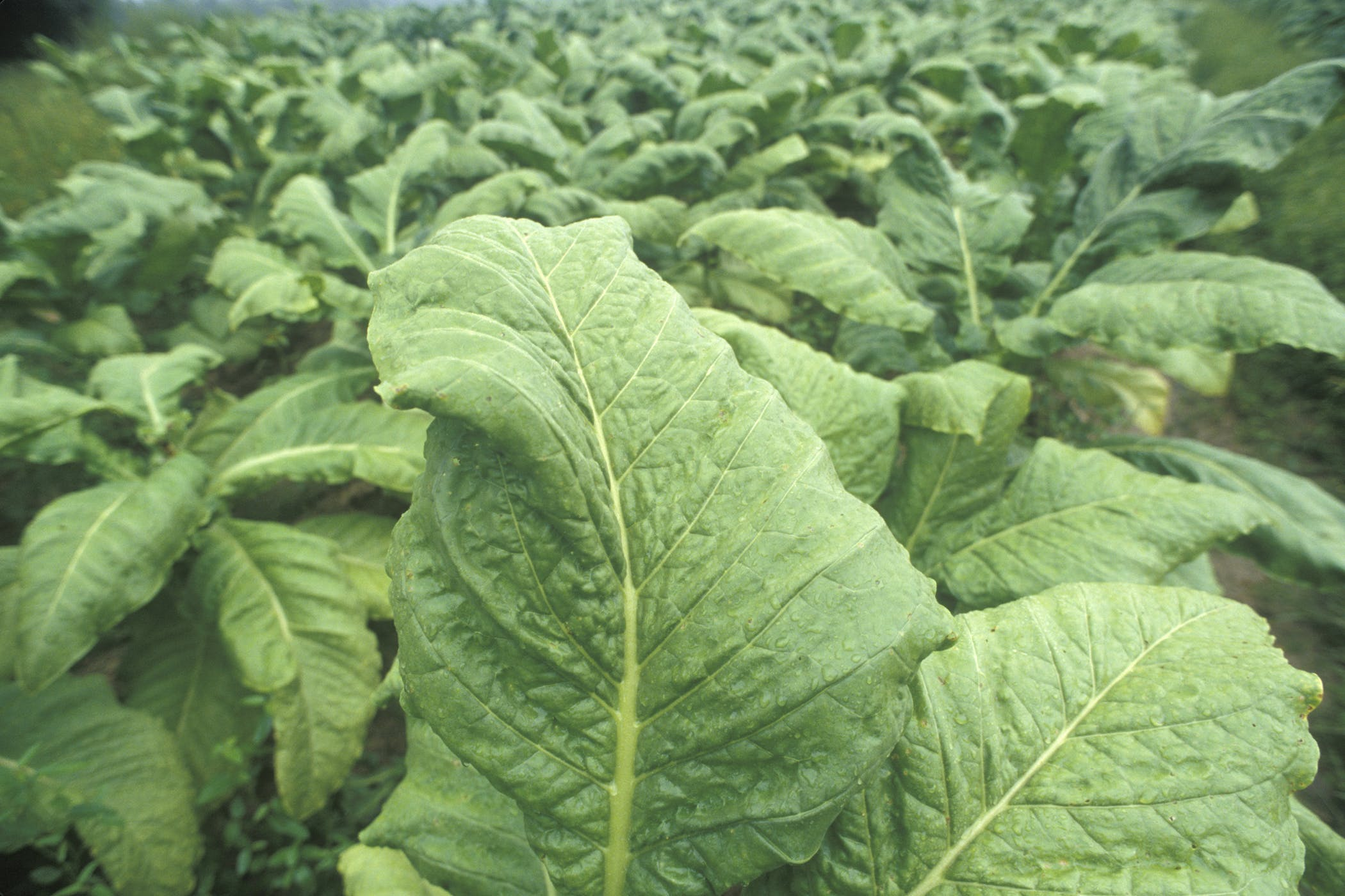 Tobacco Plant Poisoning In Horses Symptoms Causes