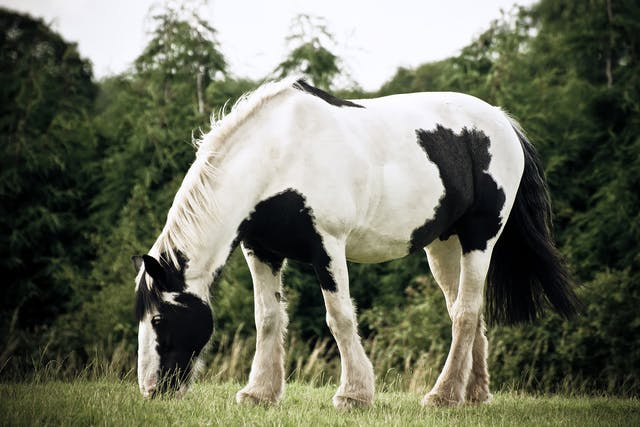 Toxic Equine Parkinsonism in Horses - Symptoms, Causes, Diagnosis, Treatment, Recovery, Management, Cost