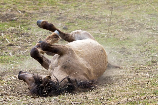 Traumatic Brain Injury in Horses - Symptoms, Causes, Diagnosis, Treatment, Recovery, Management, Cost