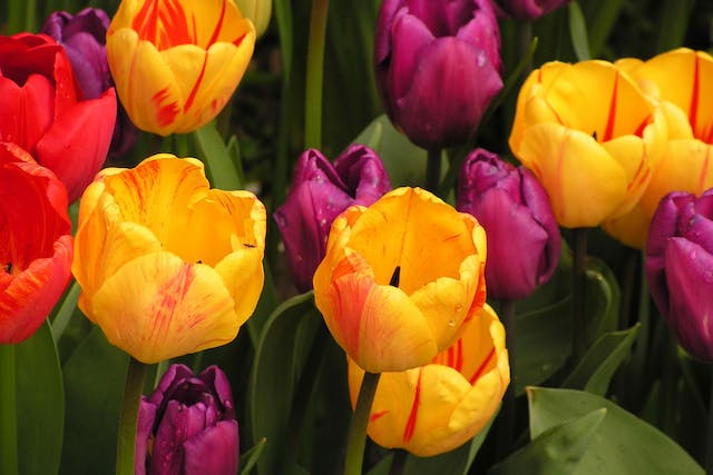 Tulips Poisoning in Horses - Symptoms, Causes, Diagnosis, Treatment, Recovery, Management, Cost