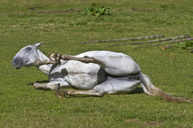 Undescended Testicles in Horses - Symptoms, Causes, Diagnosis, Treatment, Recovery, Management, Cost