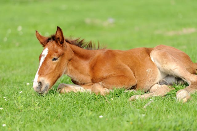 Uroperitoneum (Foals) in Horses - Symptoms, Causes, Diagnosis, Treatment, Recovery, Management, Cost