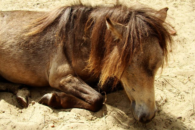 Viral Arteritis in Horses - Symptoms, Causes, Diagnosis, Treatment, Recovery, Management, Cost