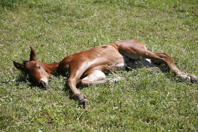 Vitamin Deficiencies in Horses - Symptoms, Causes, Diagnosis, Treatment, Recovery, Management, Cost