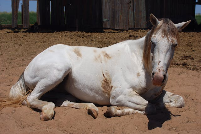 Weight Loss and Hypoproteinemia in Horses - Symptoms, Causes, Diagnosis, Treatment, Recovery, Management, Cost