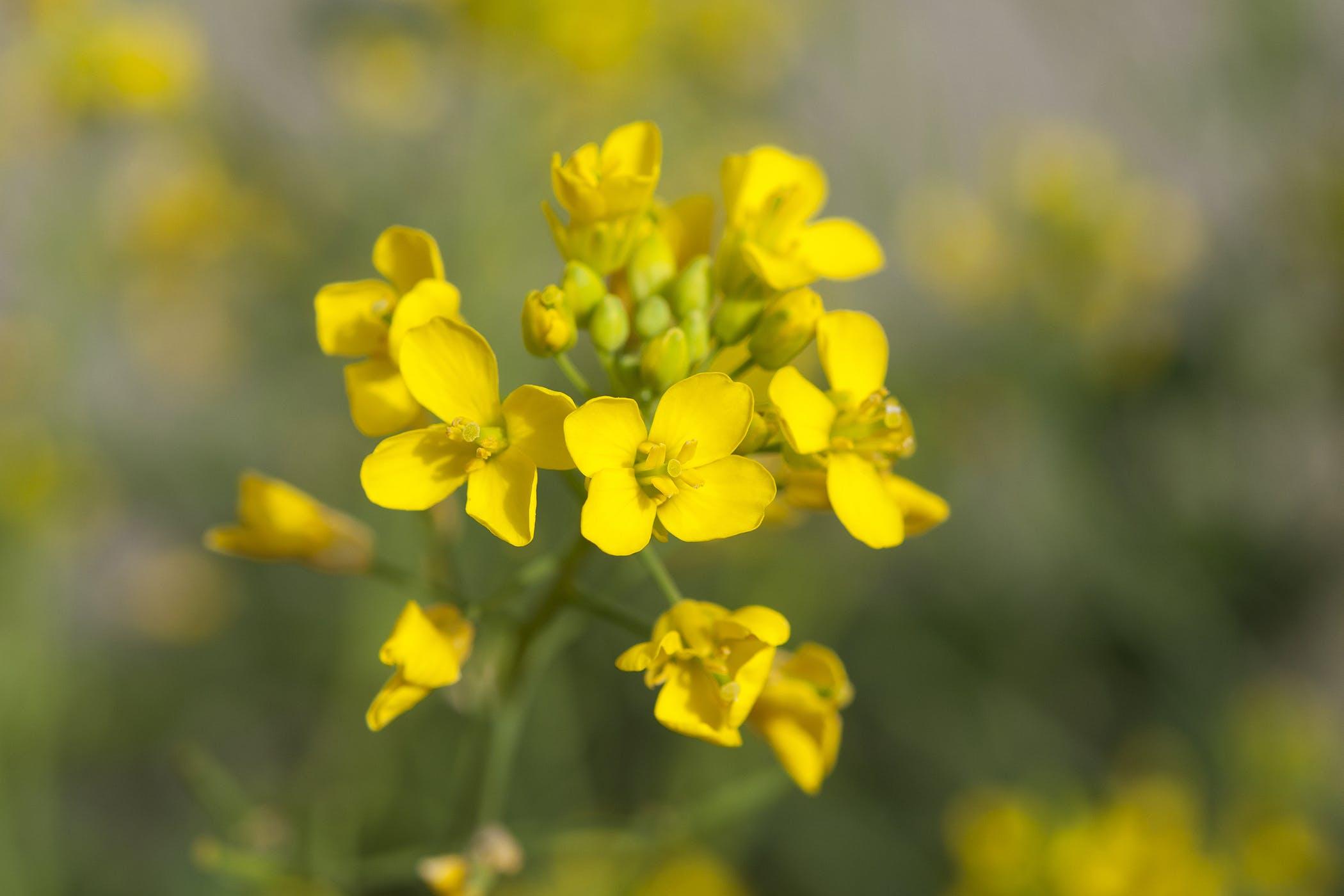 wild-mustard-poisoning.jpg