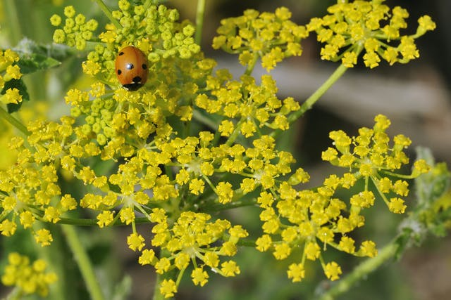 Wild Parsnip Poisoning in Horses - Symptoms, Causes, Diagnosis, Treatment, Recovery, Management, Cost