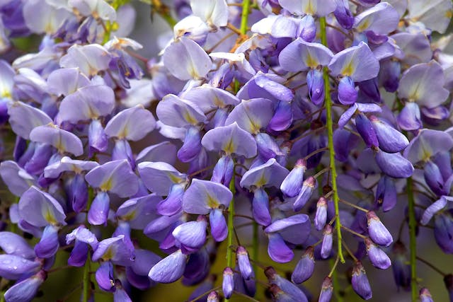 Wisteria Poisoning in Horses - Symptoms, Causes, Diagnosis, Treatment, Recovery, Management, Cost