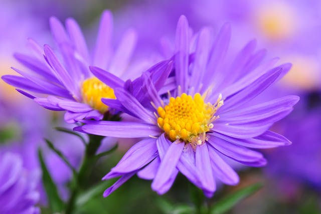 Woody Aster Poisoning in Horses - Symptoms, Causes, Diagnosis, Treatment, Recovery, Management, Cost