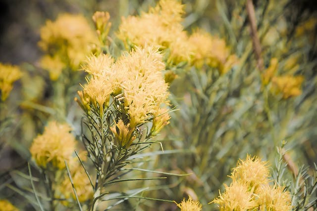Yellow Star Thistle Poisoning in Horses - Symptoms, Causes, Diagnosis, Treatment, Recovery, Management, Cost