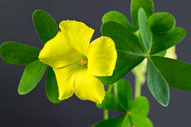 Yellow Wood Sorrel Poisoning in Horses - Symptoms, Causes, Diagnosis, Treatment, Recovery, Management, Cost