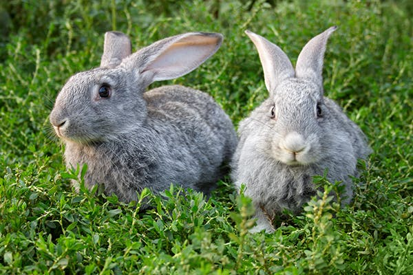 Arthritis in Rabbits - Symptoms, Causes, Diagnosis, Treatment, Recovery, Management, Cost