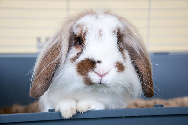 Back and Neck Pain in Rabbits - Symptoms, Causes, Diagnosis, Treatment, Recovery, Management, Cost