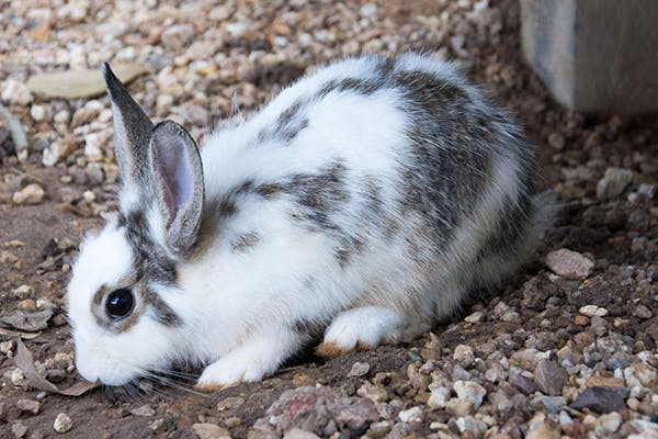 Bulging Of The Eyes In Rabbits Symptoms Causes Diagnosis