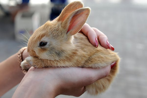Cancer of the Uterus in Rabbits - Symptoms, Causes, Diagnosis, Treatment, Recovery, Management, Cost
