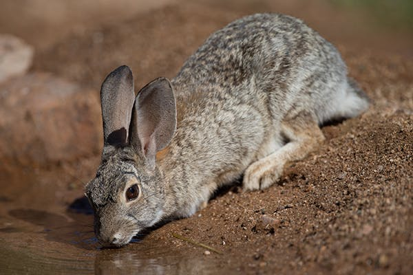 Cheek Teeth Problems in Rabbits - Symptoms, Causes, Diagnosis, Treatment, Recovery, Management, Cost