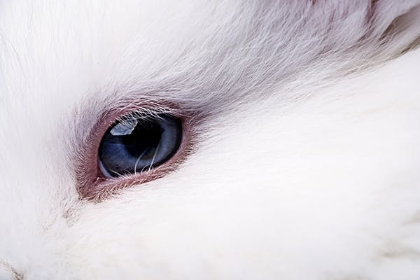 Conjunctivitis in Rabbits - Symptoms, Causes, Diagnosis, Treatment, Recovery, Management, Cost