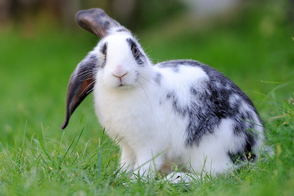 Digested Blood in Stools in Rabbits - Symptoms, Causes, Diagnosis, Treatment, Recovery, Management, Cost