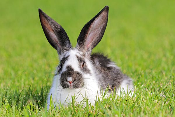 Digested Hairballs in Rabbits - Symptoms, Causes, Diagnosis, Treatment, Recovery, Management, Cost