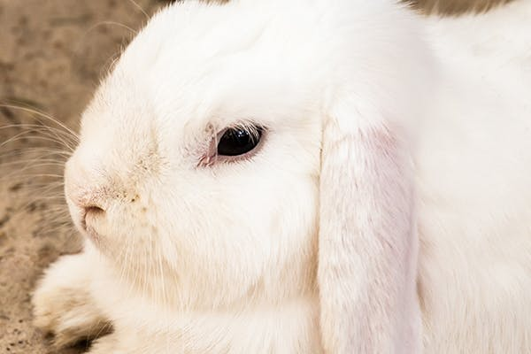 Diseases Affecting the Ear Balance Systems in Rabbits