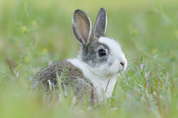 Dislocation and Paralysis in Rabbits - Symptoms, Causes, Diagnosis, Treatment, Recovery, Management, Cost