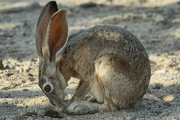 Distension of the Stomach with Gas and Fluid in Rabbits - Symptoms, Causes, Diagnosis, Treatment, Recovery, Management, Cost