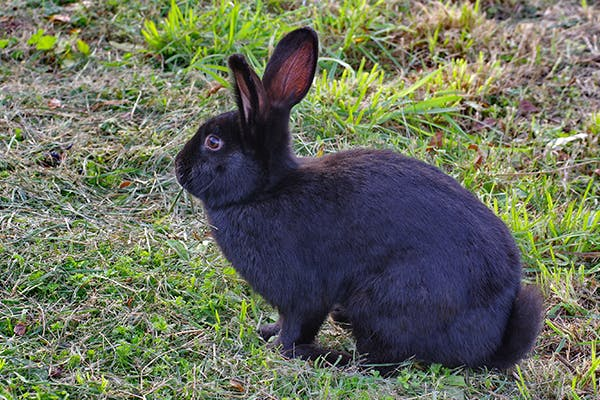 Enterotoxemia in Rabbits - Symptoms, Causes, Diagnosis, Treatment, Recovery, Management, Cost