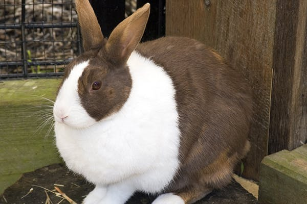 Excess Urine in Rabbits - Symptoms, Causes, Diagnosis, Treatment, Recovery, Management, Cost