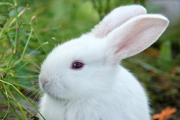 Eye Inflammation in Rabbits - Symptoms, Causes, Diagnosis, Treatment, Recovery, Management, Cost