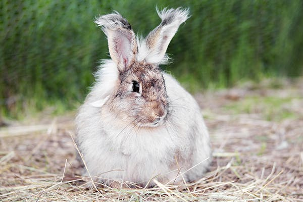 Hair Loss in Rabbits - Signs, Causes, Diagnosis, Treatment, Recovery, Management, Cost