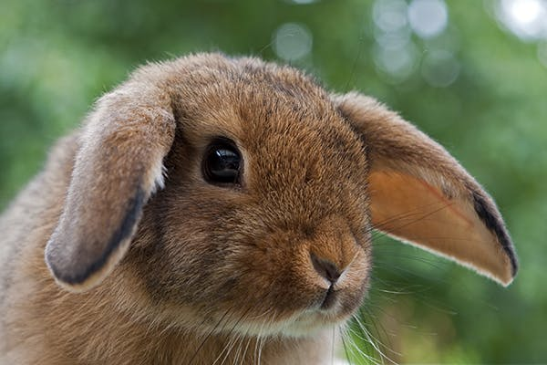 Head Tilt in Rabbits - Symptoms, Causes, Diagnosis