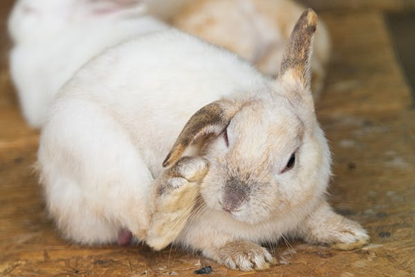 Infestation of Mites in the Ear in Rabbits - Symptoms, Causes, Diagnosis, Treatment, Recovery, Management, Cost