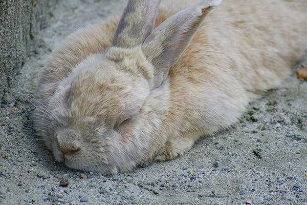 Inflammation of the Brain in Rabbits - Symptoms, Causes, Diagnosis, Treatment, Recovery, Management, Cost