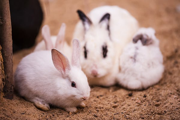 Lactation Infection in Rabbits - Symptoms, Causes, Diagnosis, Treatment, Recovery, Management, Cost