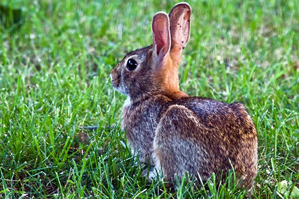 Listeriosis in Rabbits - Symptoms, Causes, Diagnosis, Treatment, Recovery, Management, Cost