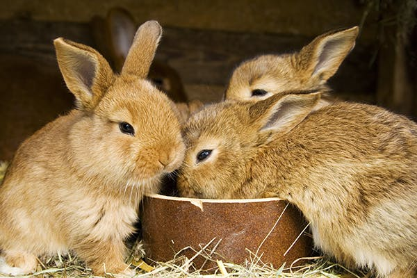 Loss Of Appetite In Rabbits Symptoms Causes Diagnosis
