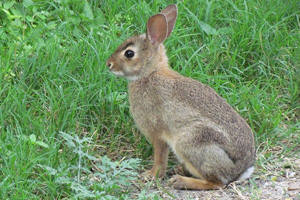 Loss of Voluntary Control of Urination in Rabbits - Symptoms, Causes, Diagnosis, Treatment, Recovery, Management, Cost