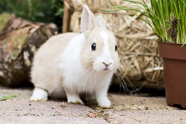 Nerve Damage in Rabbits - Symptoms, Causes, Diagnosis, Treatment, Recovery, Management, Cost