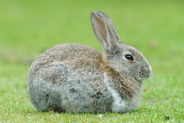 Nonfood Item Obstruction of the Digestive Tract in Rabbits - Symptoms, Causes, Diagnosis, Treatment, Recovery, Management, Cost